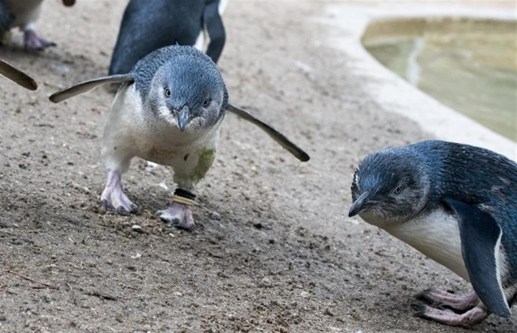 Penguins in Person and A Day at Adelaide Zoo - z1