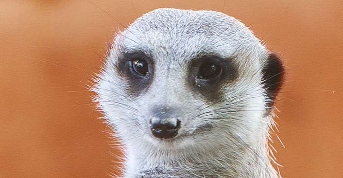 Monarto Safari Park - Meerkat Mingle (inc zoo entry) - q2